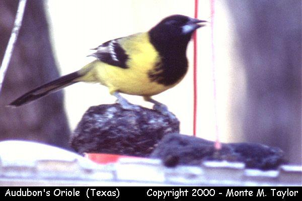 Audubon's Oriole  (Texas)
