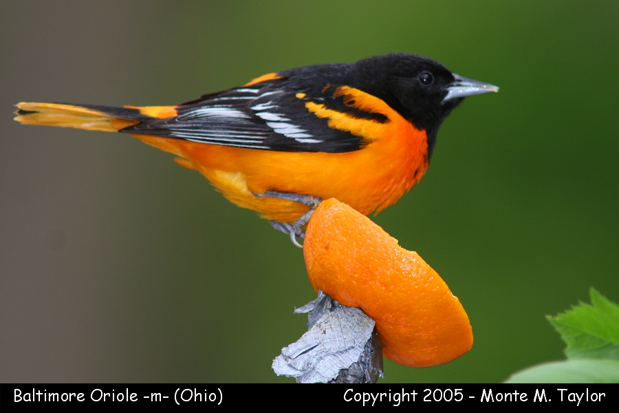Baltimore Oriole -male- (Ohio)
