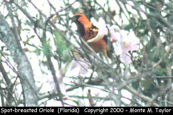 Spot-breasted Oriole  (Florida)