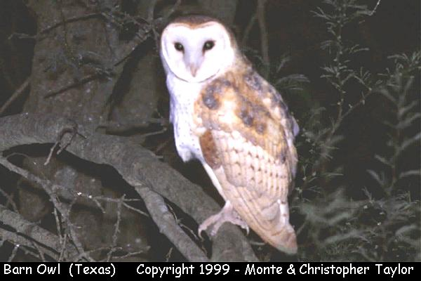 Barn Owl  (Texas)