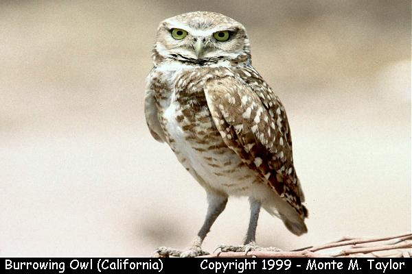 Burrowing Owl  (California)