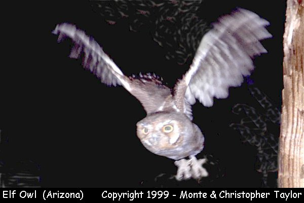 Elf Owl  (Arizona)