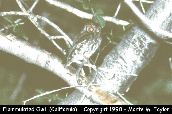 Flammulated Owl  (California)