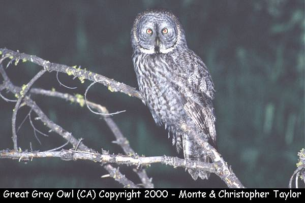 Great Gray Owl  (Yosemite NP, California)