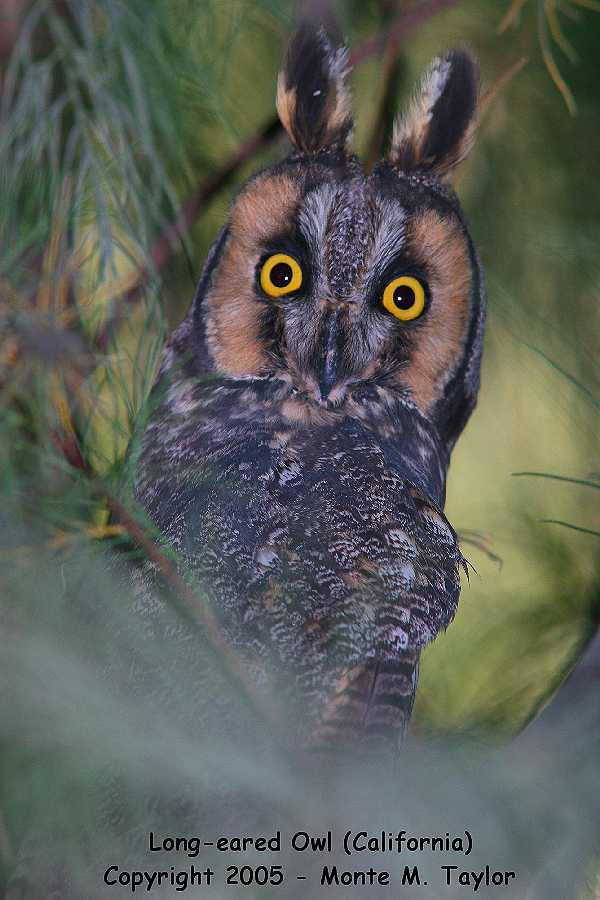 Long-eared Owl (California)