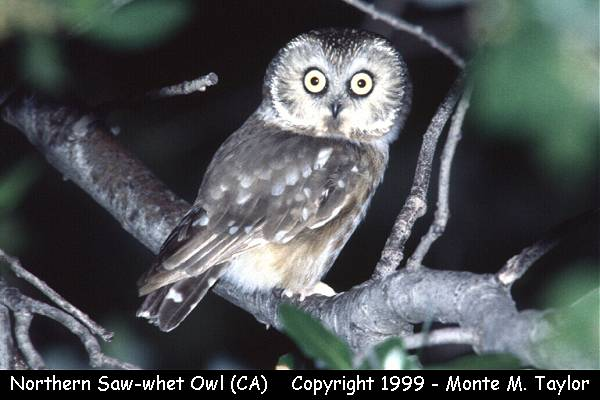 Northern Saw-whet Owl  (California)