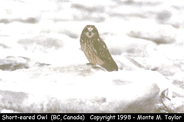 Short-eared Owl  (Vancouver, British Columbia, Canada)