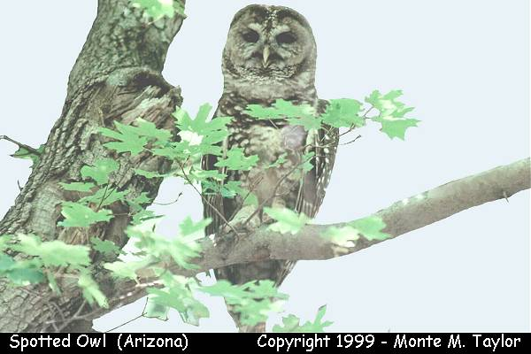 Spotted Owl  (Arizona)
