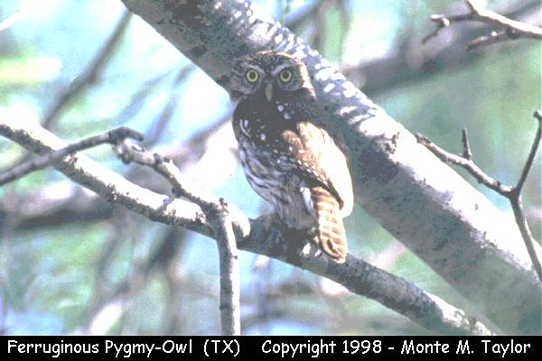 Ferruginous Pygmy-Owl  (Falcon Dam, Texas)