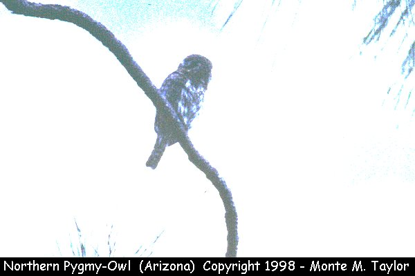 Northern Pygmy-Owl  (Arizona)