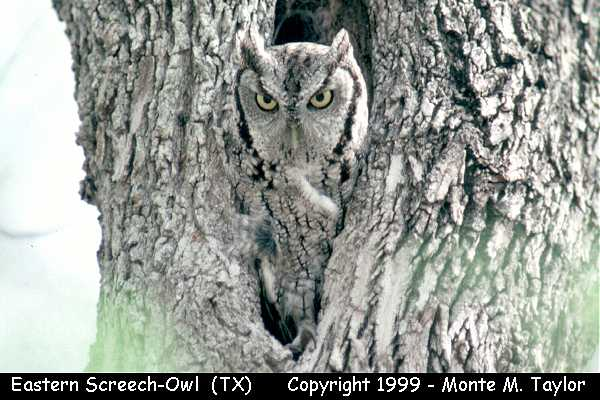 Eastern Screech-Owl  (Texas)
