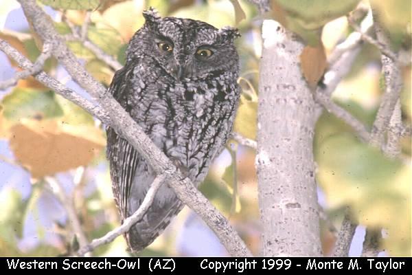 Western Screech-Owl (Arizona)