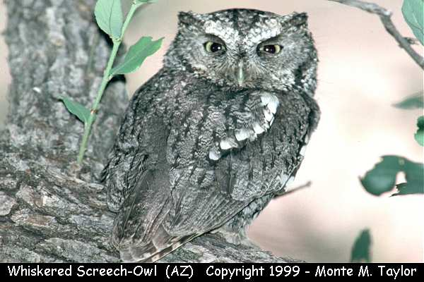 Whiskered Screech-Owl -adult-  (Arizona)