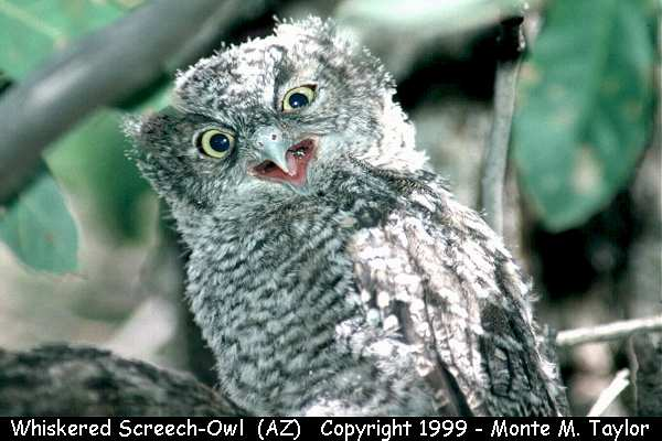 Whiskered Screech-Owl -juvenile-  (Arizona)