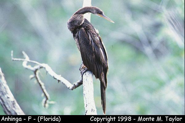 Anhinga -female-  (Florida)