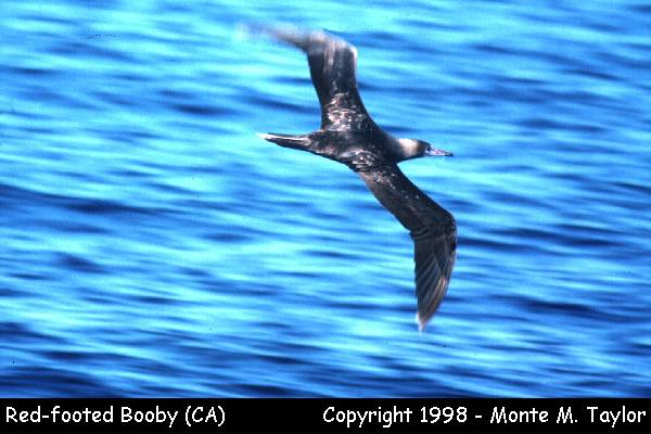 Red-footed Booby  (California)