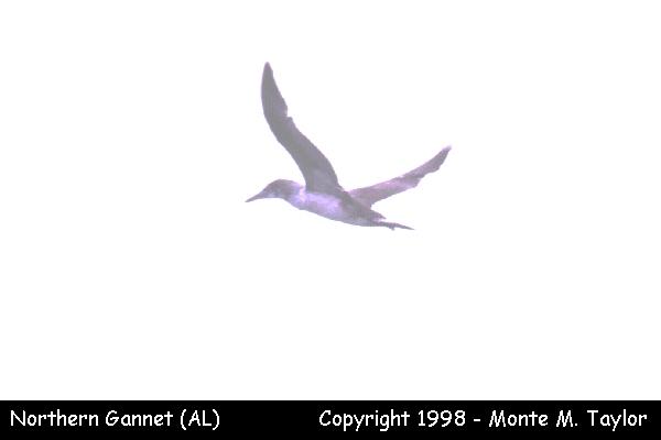 Northern Gannet  (Dauphin Island, Alabama)