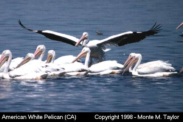 American White Pelican -winter- (California)