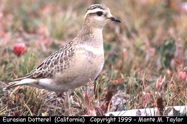 Eurasian Dotterel -juvenile-  (Crescent City, California)