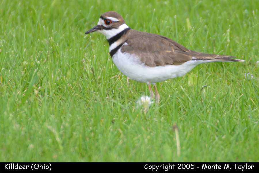 Killdeer (Ohio)