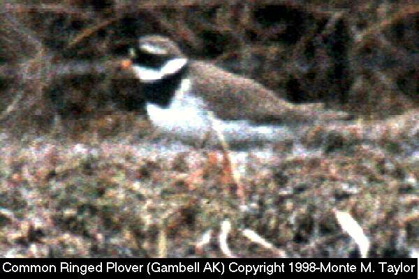 Common Ringed Plover -male-  (Gambell, St. Lawrence Island, Alaska)