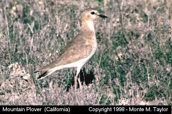 Mountain Plover  (California)