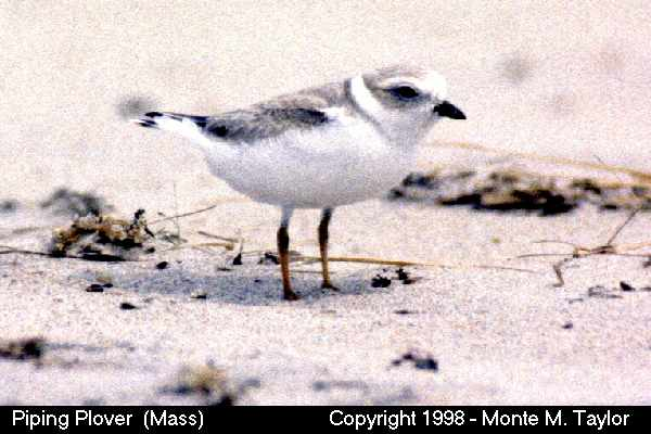 Piping Plover  (Massachusetts)