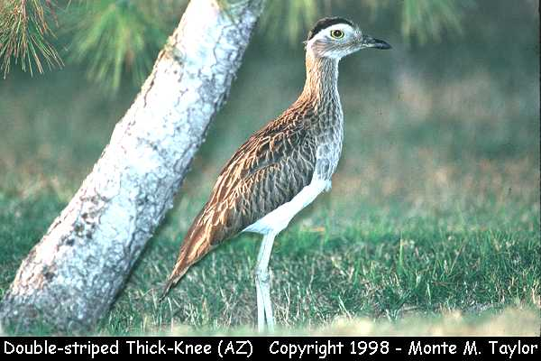 Double-striped Thick-Knee  (Yuma, Arizona)