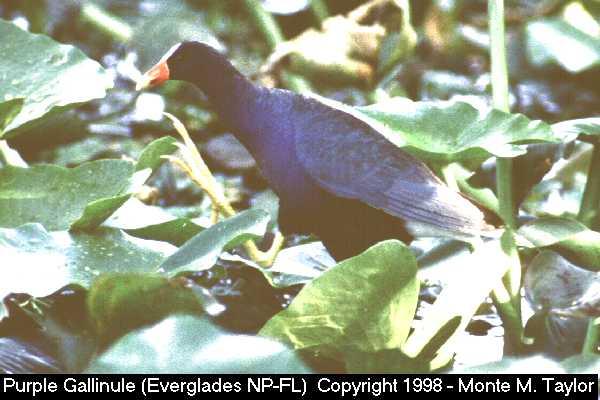 Purple Gallinule  (Everglades NP, Florida)