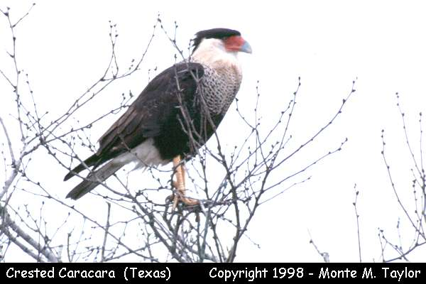 Crested Caracara  (Texas)