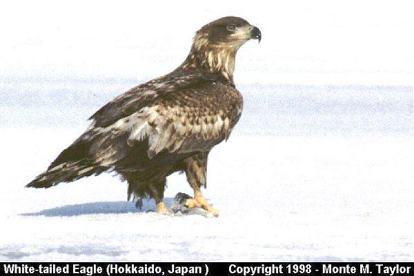 White-tailed Eagle  (Hokkaido, Japan)