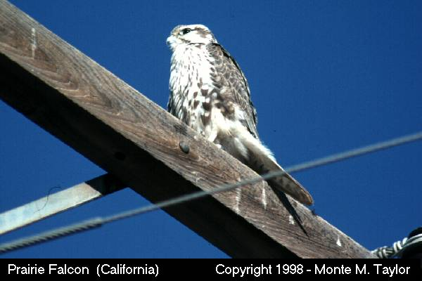 Prairie Falcon  (California)