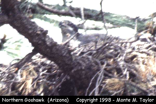 Northern Goshawk -on nest-  (Arizona)