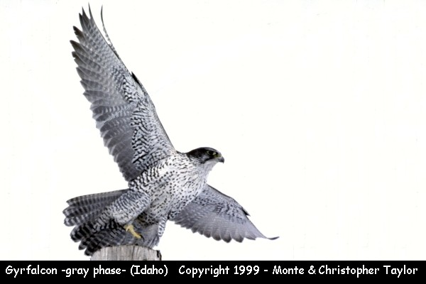 Gyrfalcon -gray phase-  (Idaho)