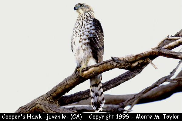Cooper's Hawk -juvenile-  (California)