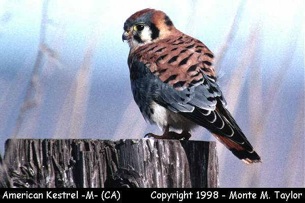 American Kestrel -male-  (California)