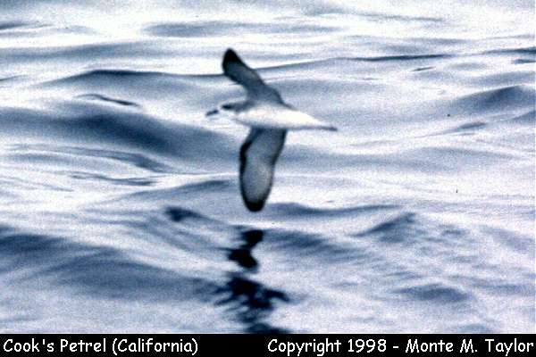 Cook's Petrel  (California)