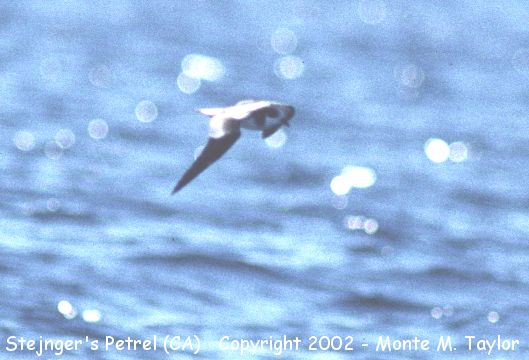 Stejneger's Petrel (Nov 17, 1990) -2nd US Record- (Off Marin County, California Pelagic)