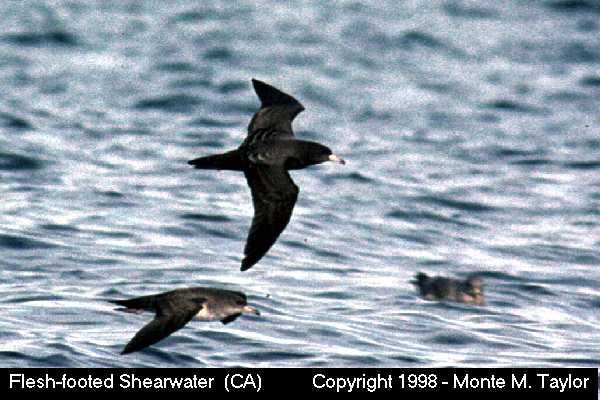 Flesh-footed Shearwater -dorsal-  (California)