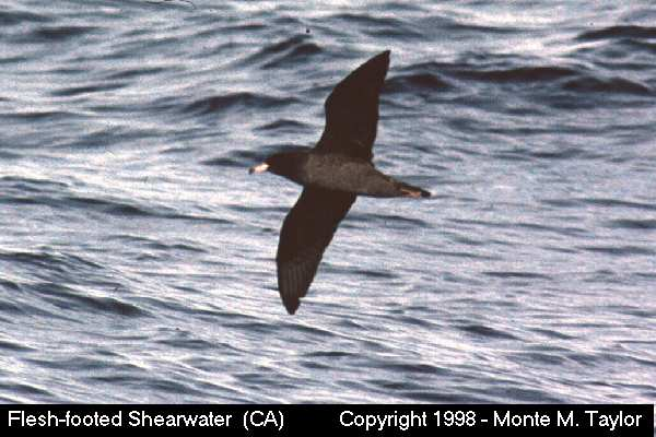 Flesh-footed Shearwater -ventral-  (California)