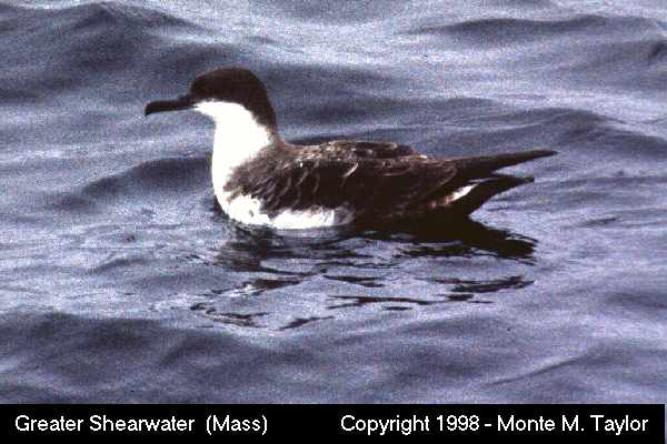 Greater Shearwater  (Massachusetts)