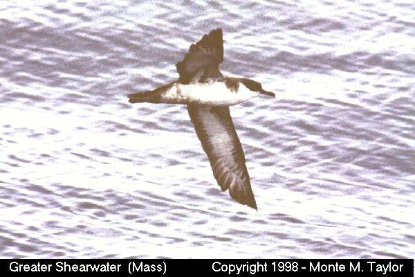 Greater Shearwater -ventral-  (Massachusetts)