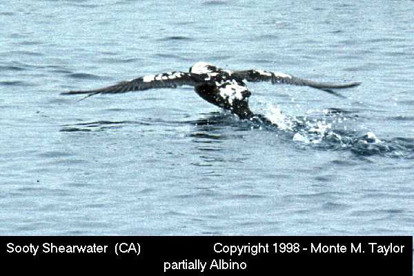 Sooty Shearwater -leucistic-  (California)