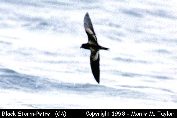 Black Storm-Petrel -dorsal-  (California)