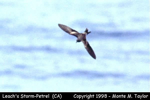 Leach's Storm-Petrel -dorsal-  (California)