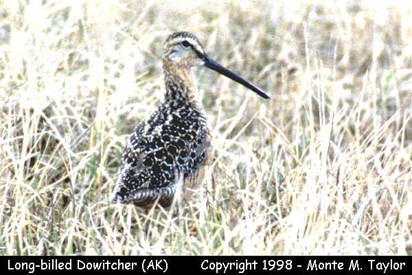 Long-billed Dowitcher -breeding-  (Barrow, Alaska)