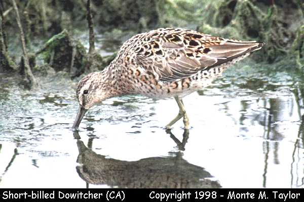 Short-billed Dowitcher -winter-  (California)