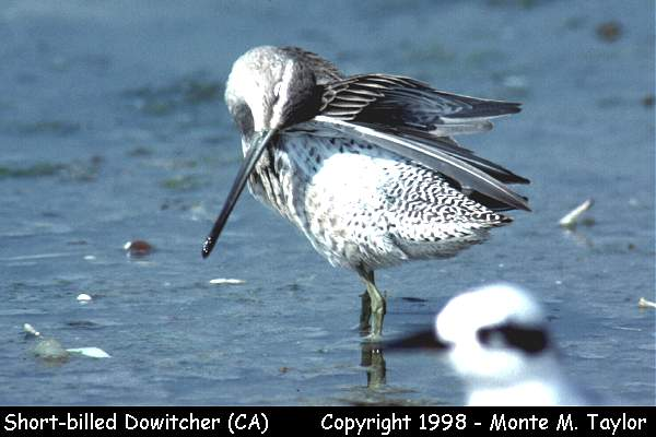 Short-billed Dowitcher -winter-  (California))