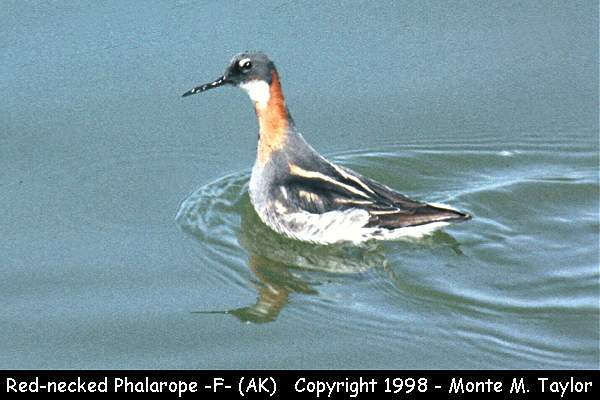 Red-necked Phalarope -female/breeding-  (Alaska)