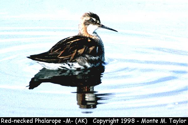 Red-necked Phalarope -male/breeding-  (Alaska)
